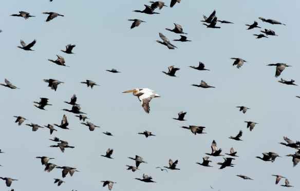 white pelican flying near flock of flying cormorants under blue sky