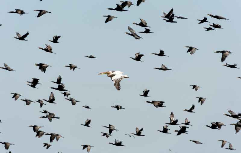white pelican flying near flock of flying cormorants under blue sky