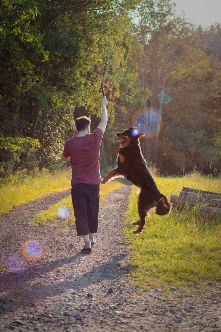 man in maroon t shirt playing with his large short coated black and brown dog